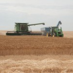 Harvesting Wheat in Kansas